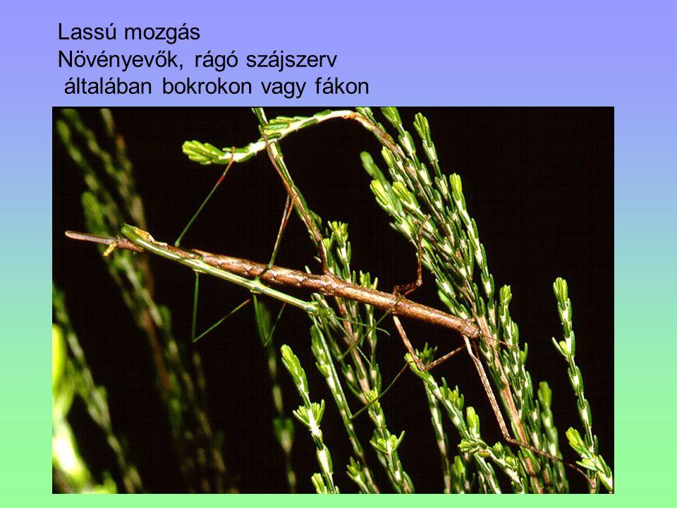 Lassú mozgás Növényevők, rágó szájszerv általában bokrokon vagy fákon