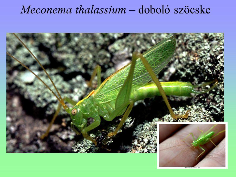 Meconema thalassium – doboló szöcske
