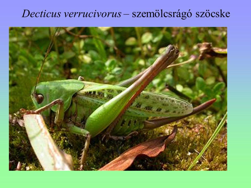 Decticus verrucivorus – szemölcsrágó szöcske