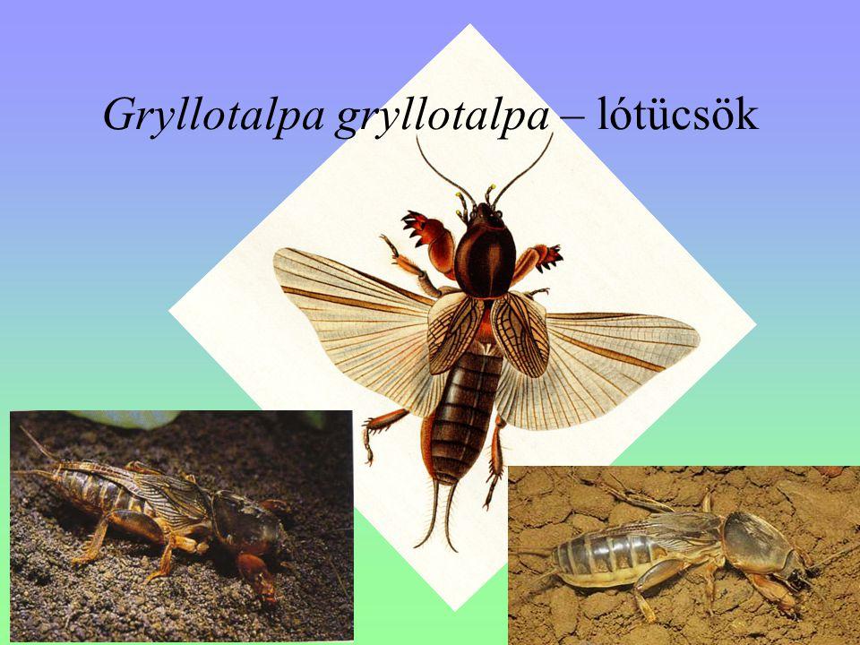 Gryllotalpa gryllotalpa – lótücsök
