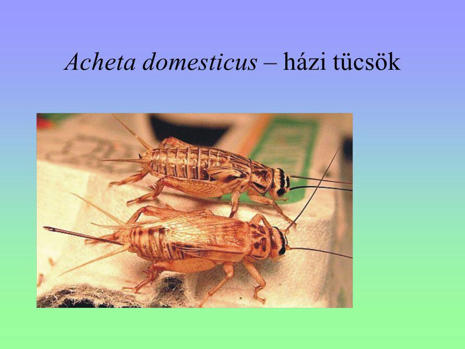 Acheta domesticus – házi tücsök