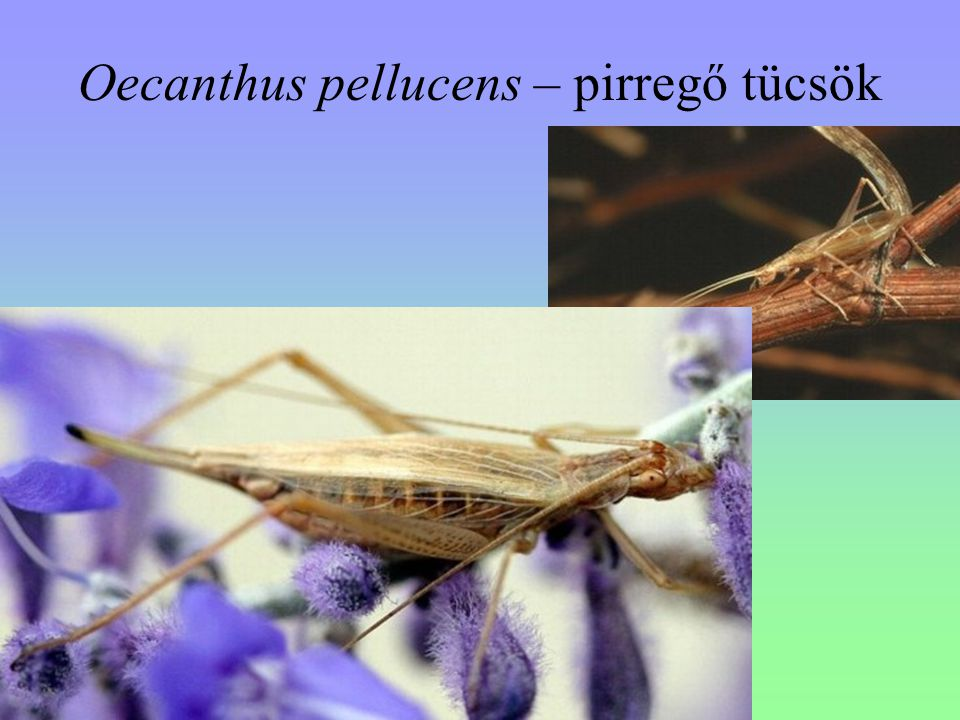 Oecanthus pellucens – pirregő tücsök