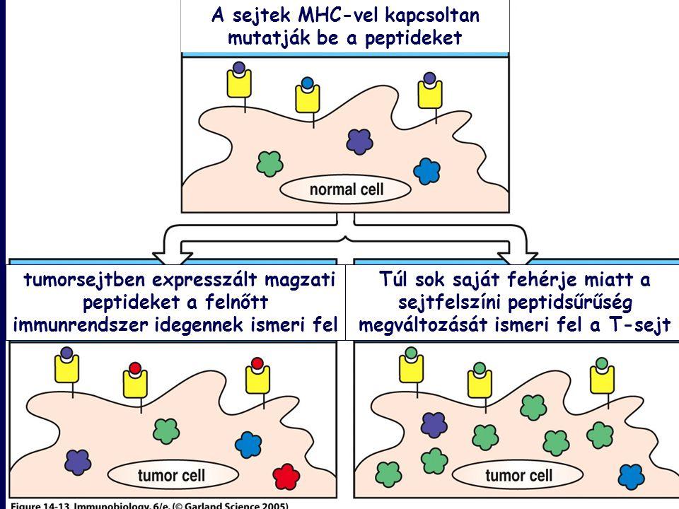 A sejtek MHC-vel kapcsoltan mutatják be a peptideket