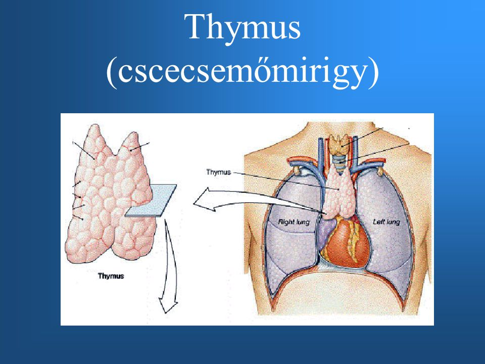 Thymus (cscecsemőmirigy)