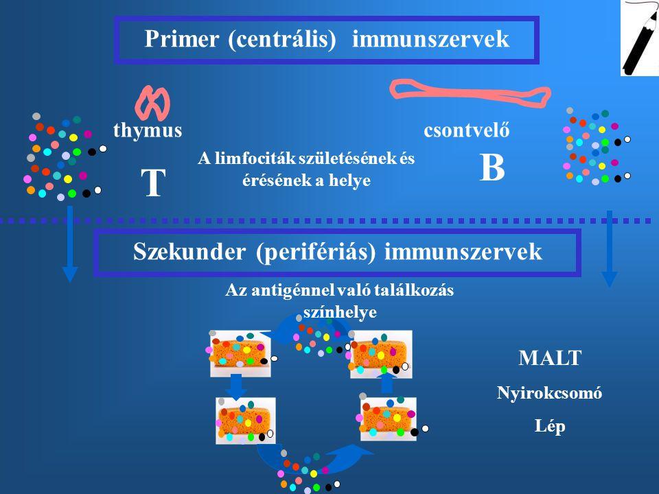 B T Primer (centrális) immunszervek