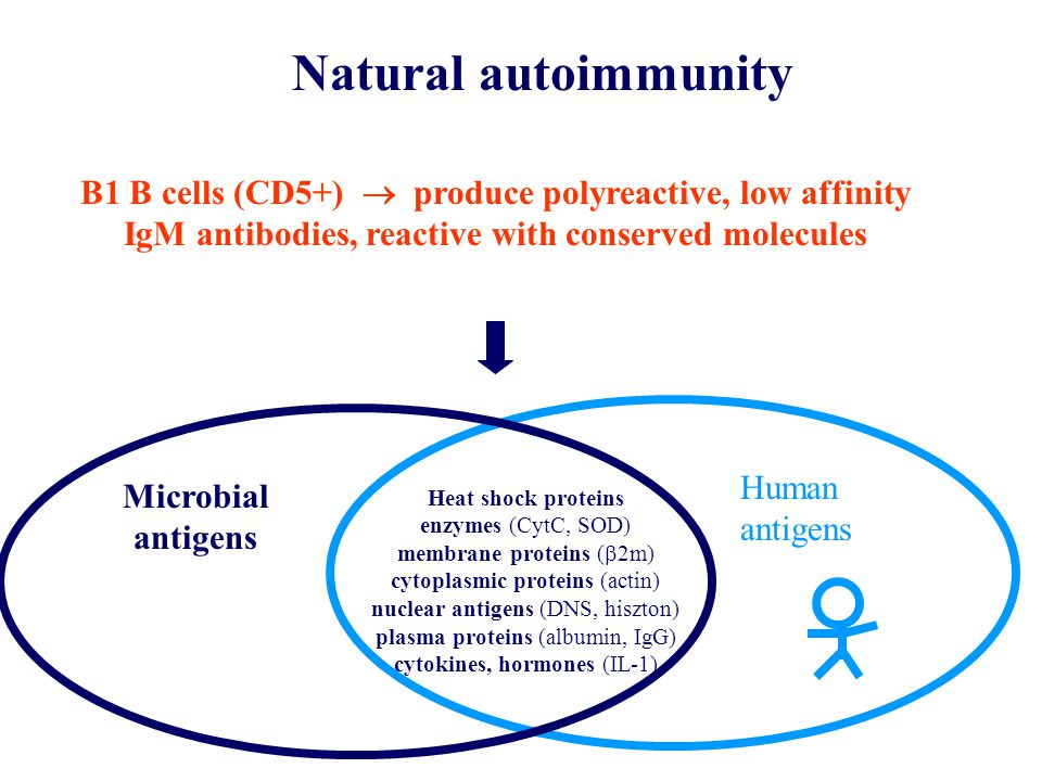 Natural autoimmunity B1 B cells (CD5+)  produce polyreactive, low affinity IgM antibodies, reactive with conserved molecules.