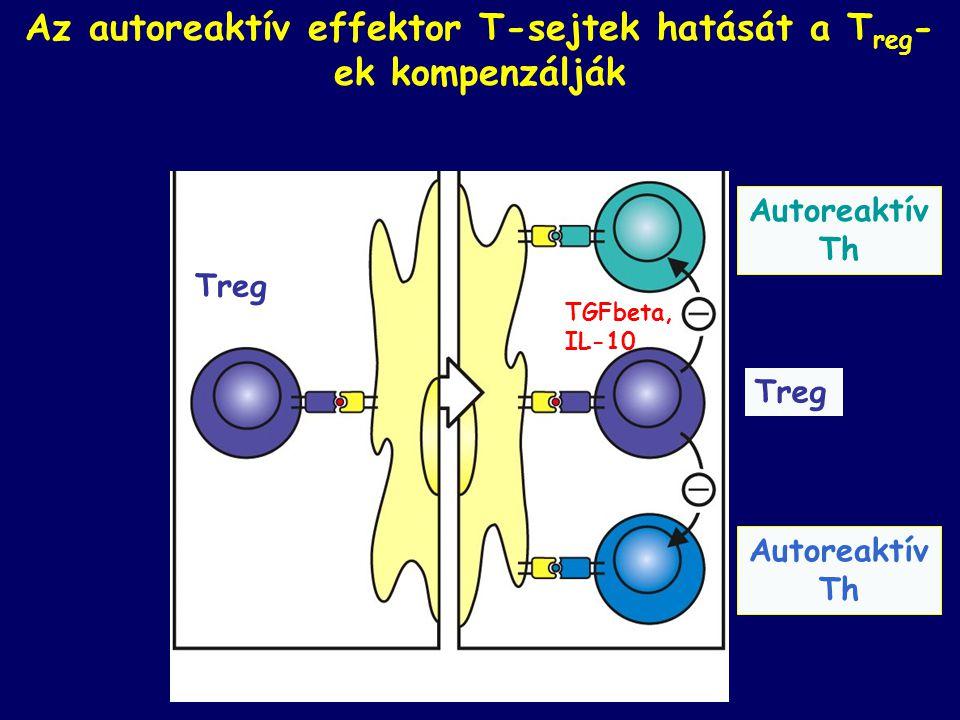 Az autoreaktív effektor T-sejtek hatását a Treg-ek kompenzálják