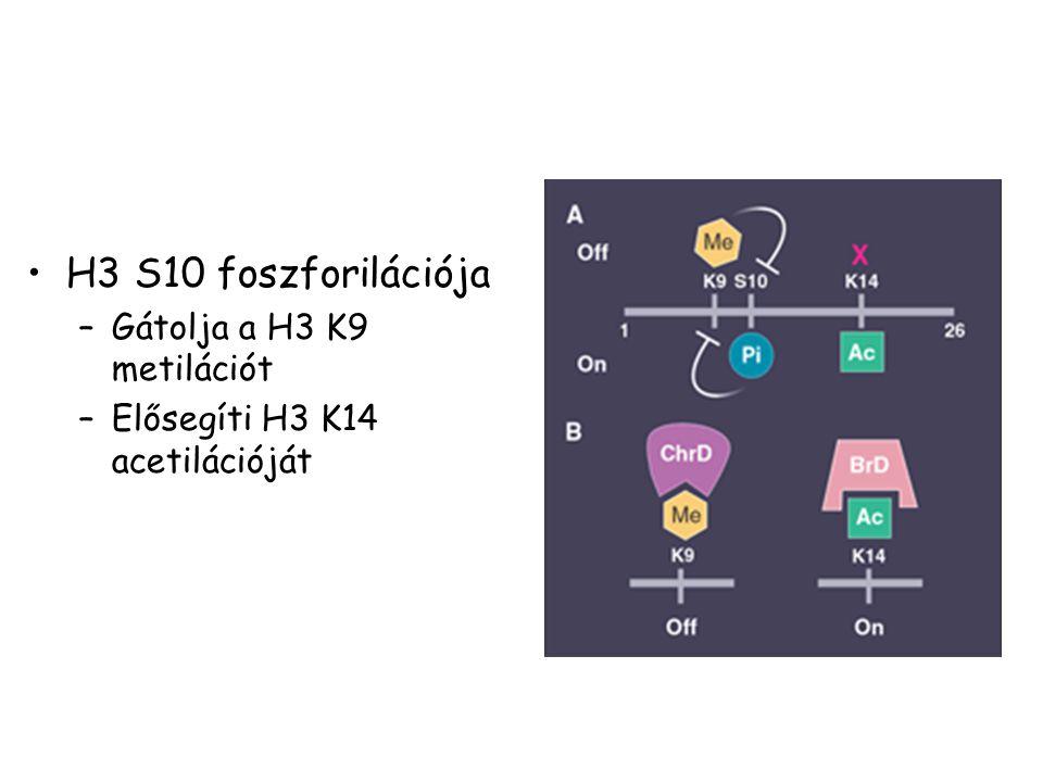H3 S10 foszforilációja Gátolja a H3 K9 metilációt