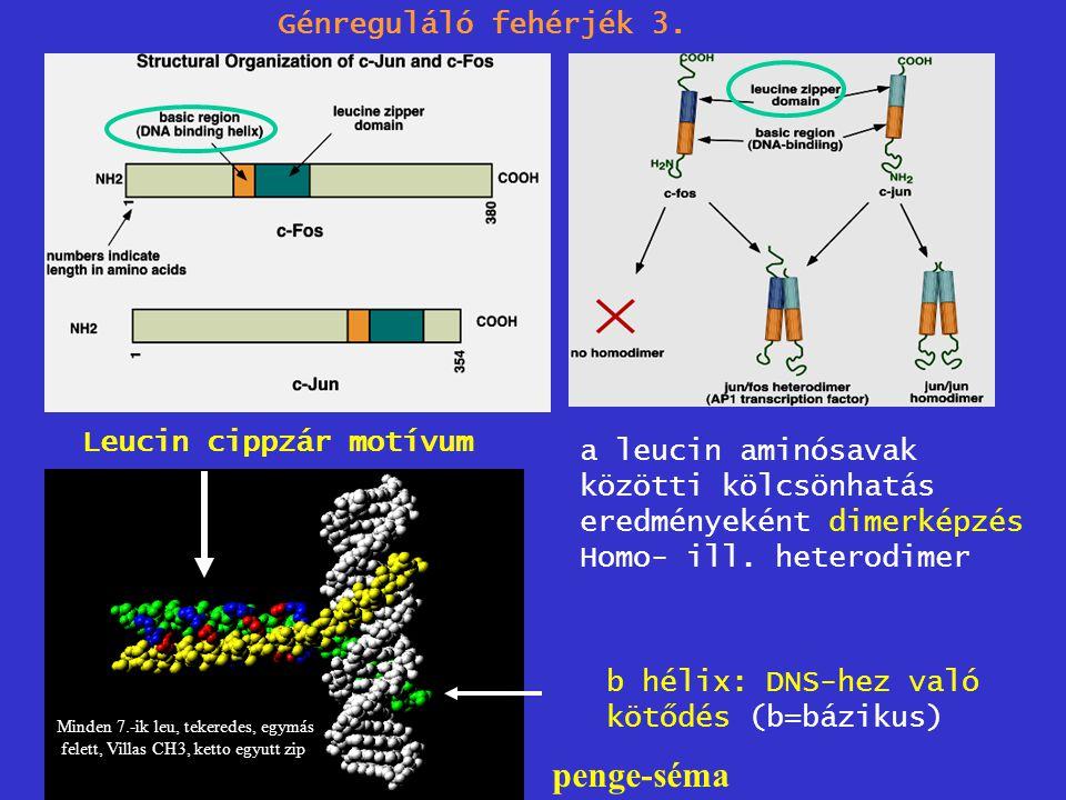 penge-séma Génreguláló fehérjék 3. Leucin cippzár motívum