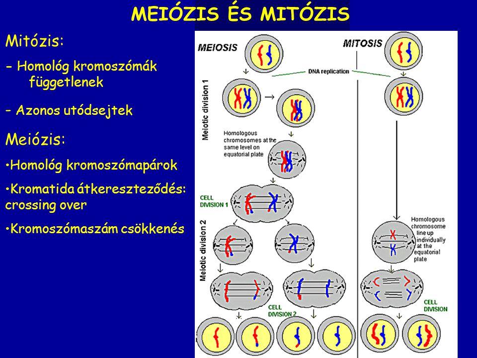 MEIÓZIS ÉS MITÓZIS Mitózis: - Azonos utódsejtek Meiózis: