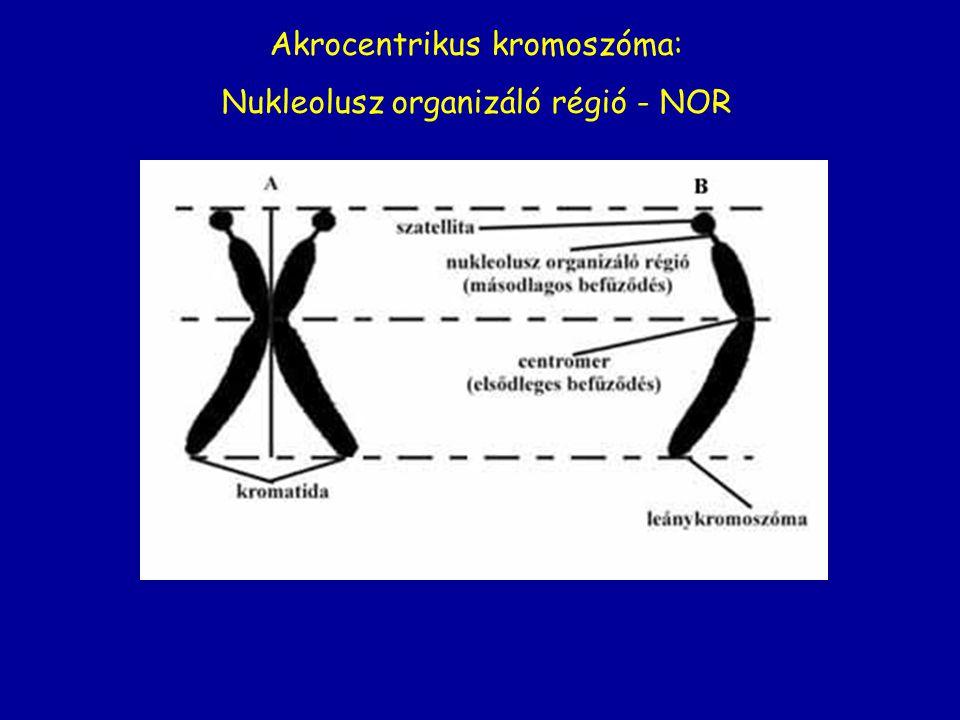 Akrocentrikus kromoszóma: Nukleolusz organizáló régió - NOR