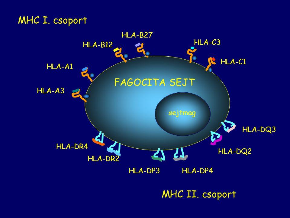 MHC I. csoport FAGOCITA SEJT MHC II. csoport HLA-B27 HLA-B12 HLA-C3