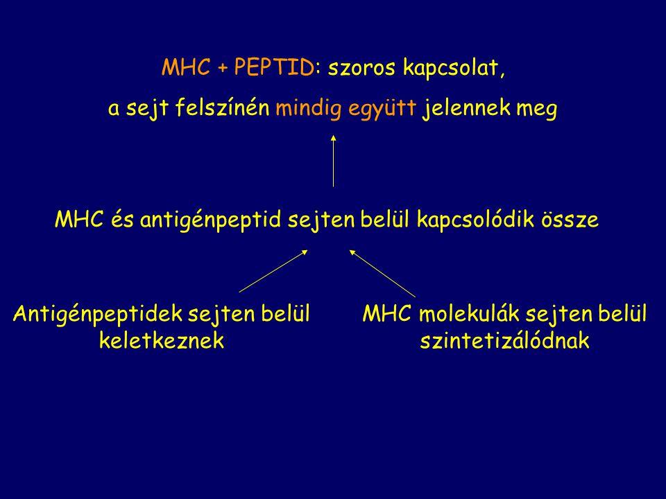 MHC + PEPTID: szoros kapcsolat,