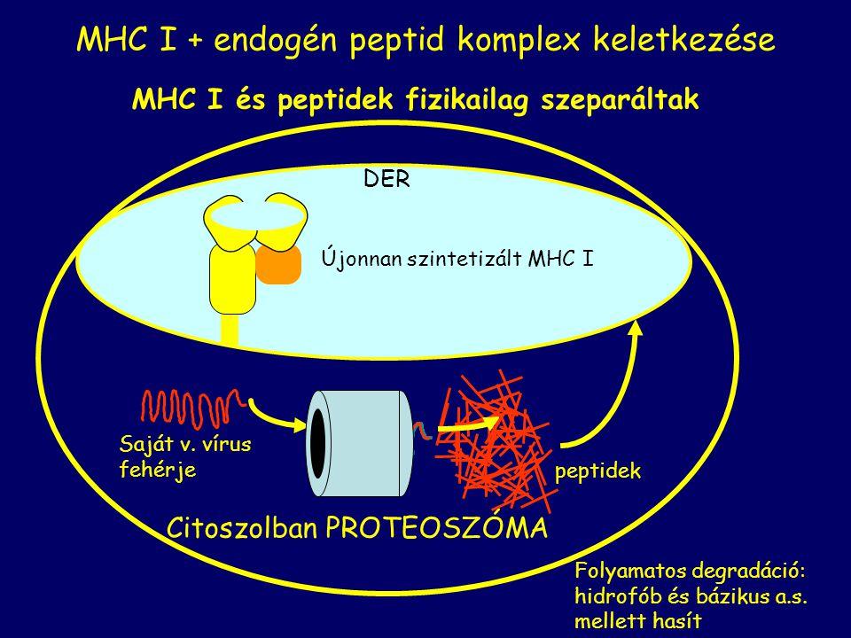 MHC I és peptidek fizikailag szeparáltak