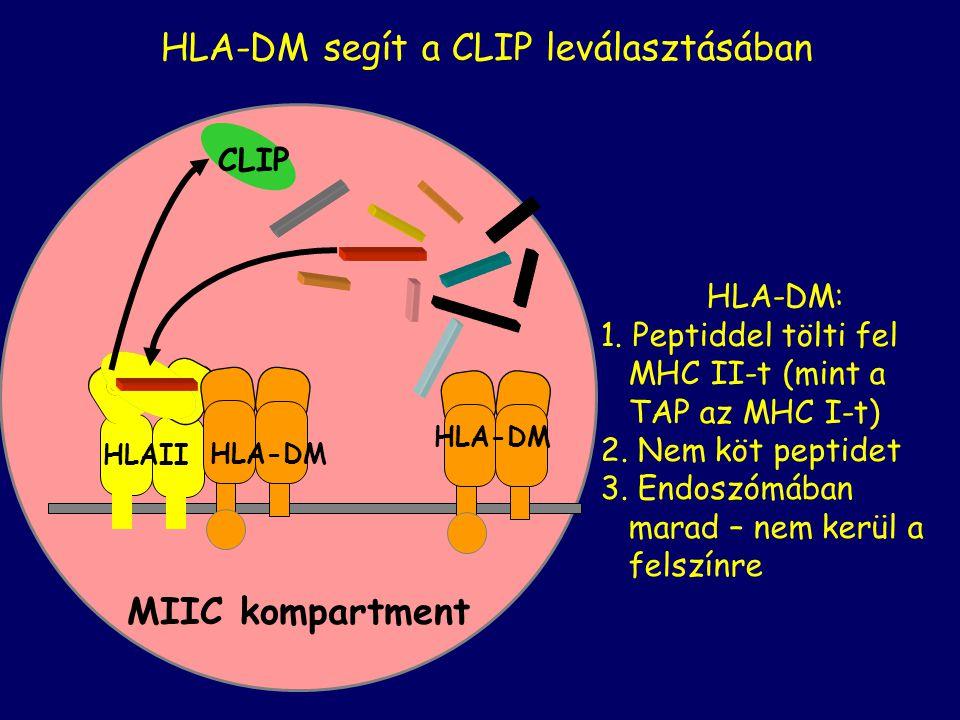HLA-DM segít a CLIP leválasztásában