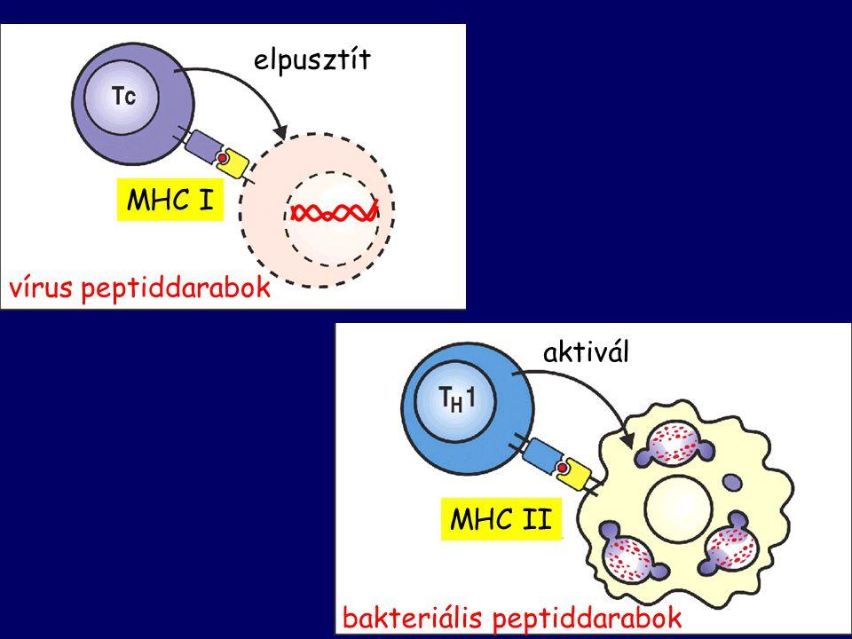 elpusztít MHC I vírus peptiddarabok bakteriális peptiddarabok MHC II aktivál