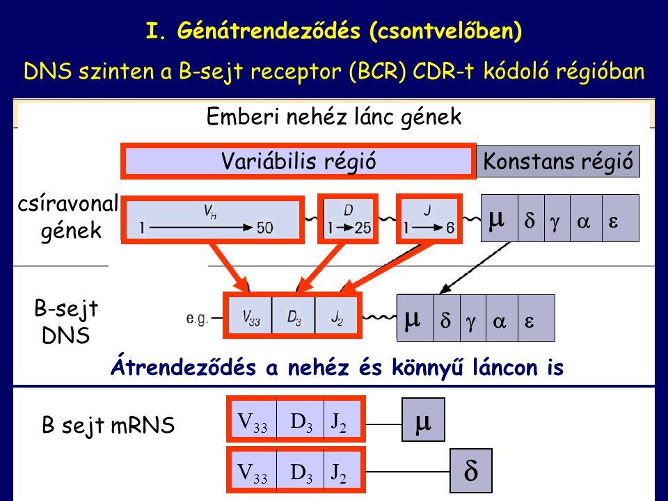     I. Génátrendeződés (csontvelőben)