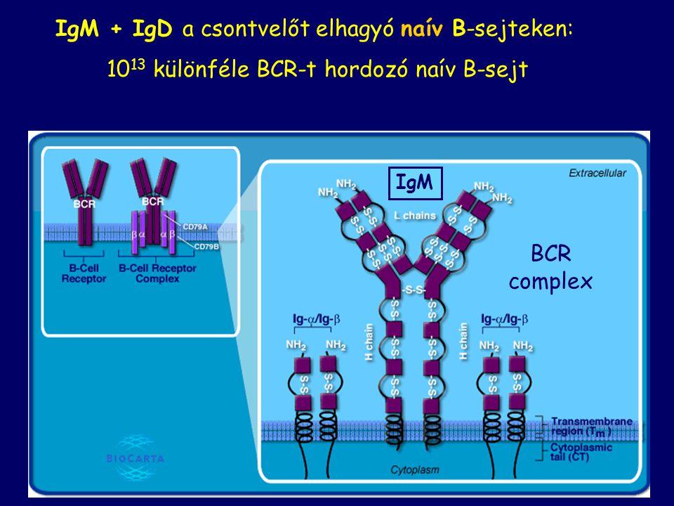 IgM + IgD a csontvelőt elhagyó naív B-sejteken: