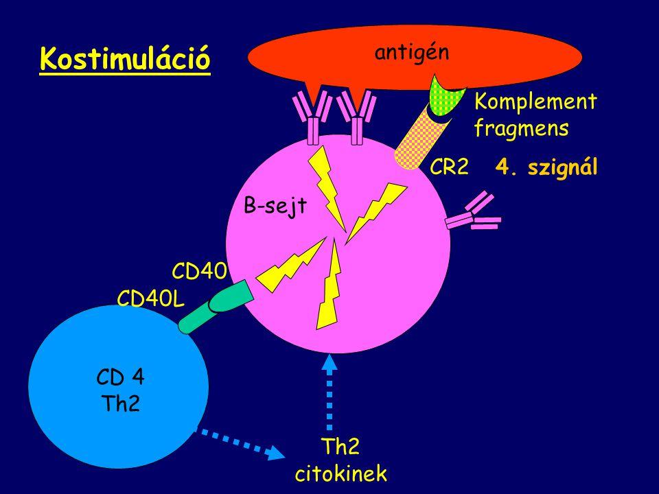Kostimuláció antigén Komplement fragmens CR2 B-sejt 4. szignál