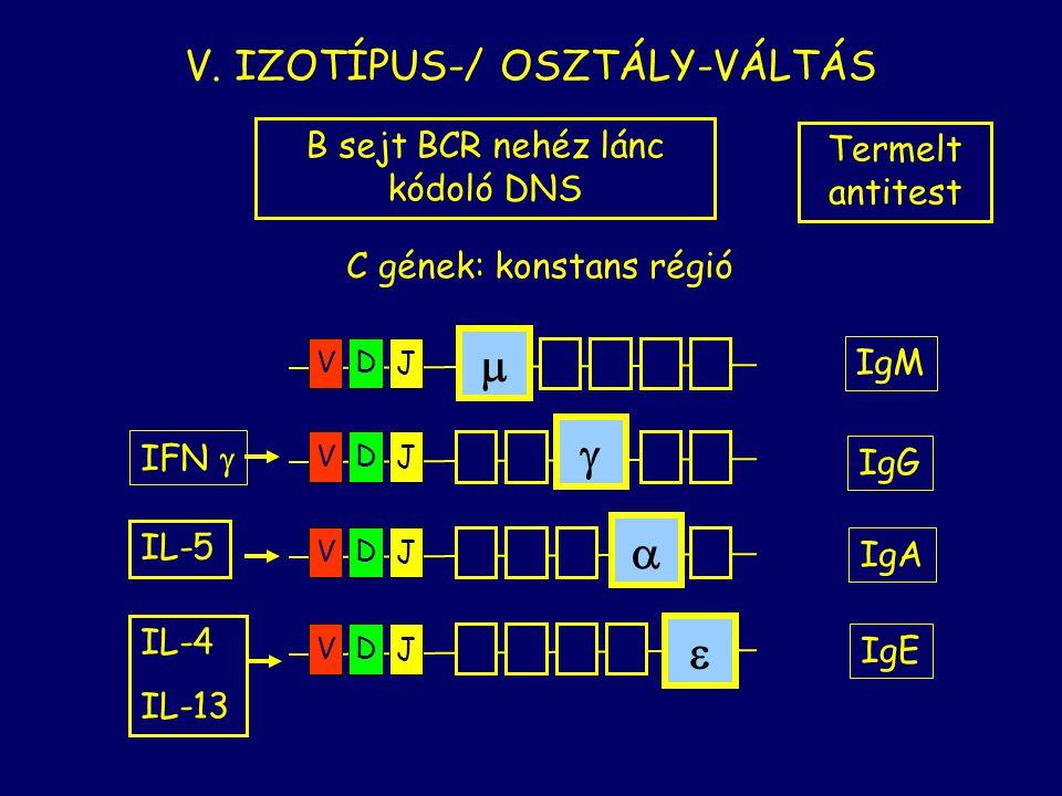 m    V. IZOTÍPUS-/ OSZTÁLY-VÁLTÁS B sejt BCR nehéz lánc kódoló DNS