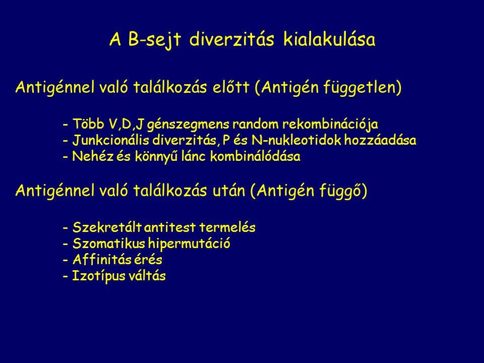 A B-sejt diverzitás kialakulása