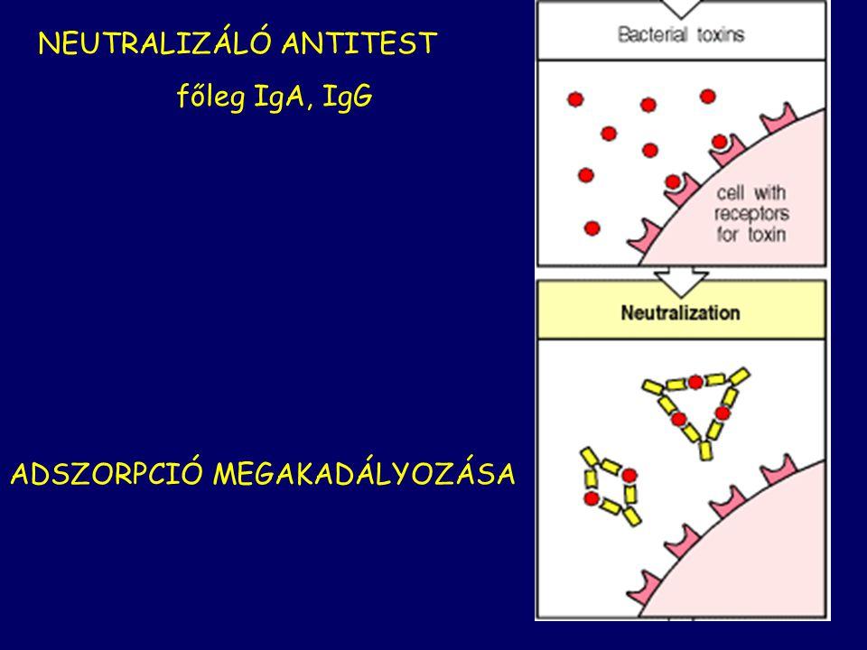 NEUTRALIZÁLÓ ANTITEST főleg IgA, IgG