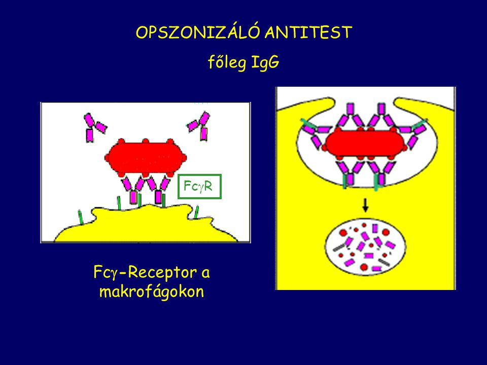 Fc-Receptor a makrofágokon