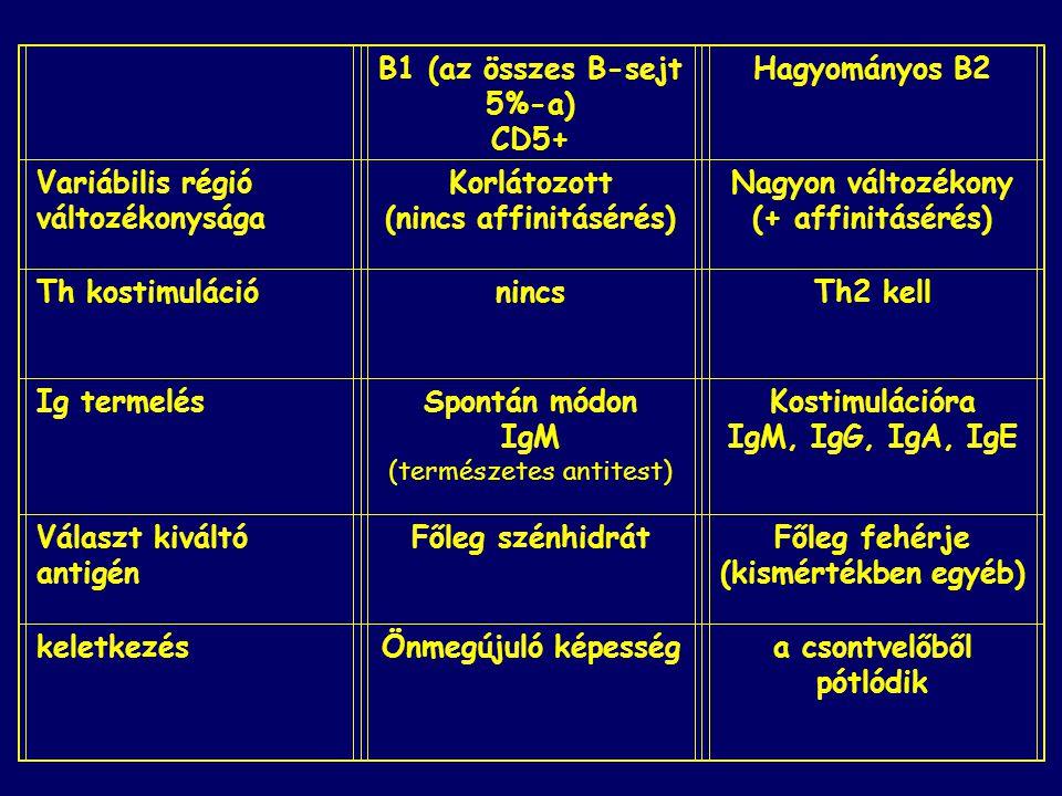 B1 (az összes B-sejt 5%-a) CD5+ Hagyományos B2