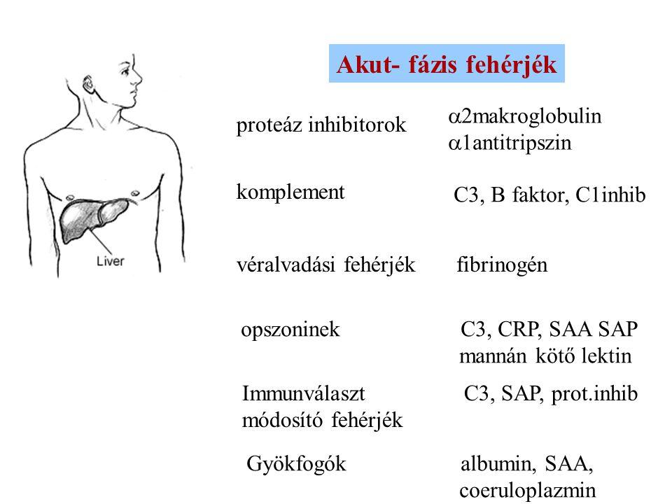Akut- fázis fehérjék a2makroglobulin proteáz inhibitorok