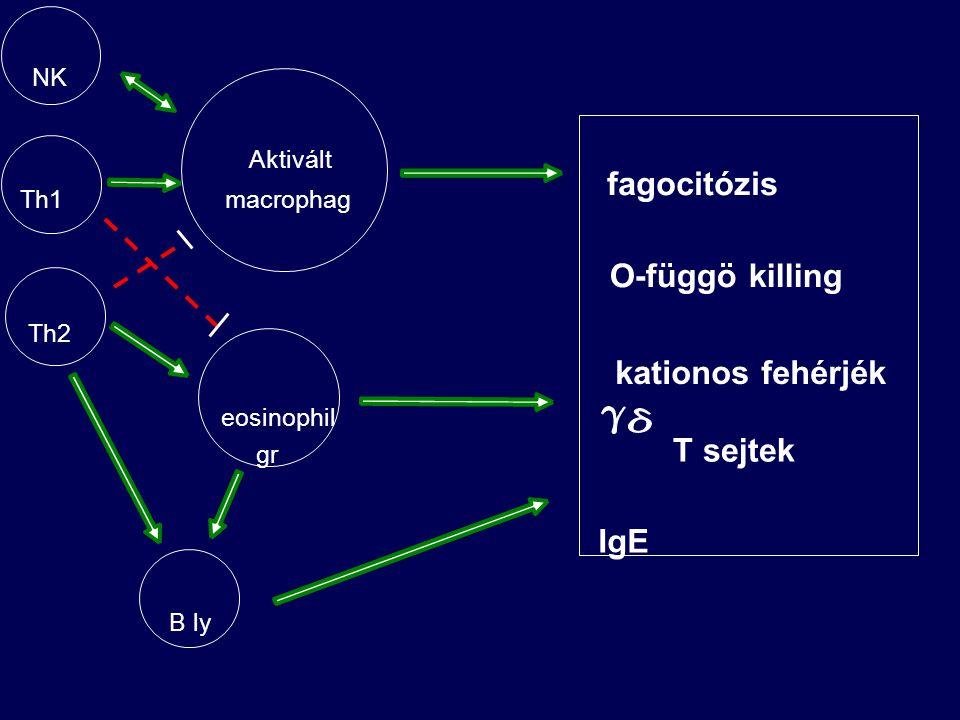fagocitózis O-függö killing kationos fehérjék T sejtek IgE NK Aktivált