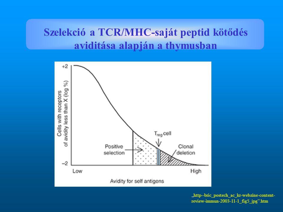 Szelekció a TCR/MHC-saját peptid kötődés aviditása alapján a thymusban