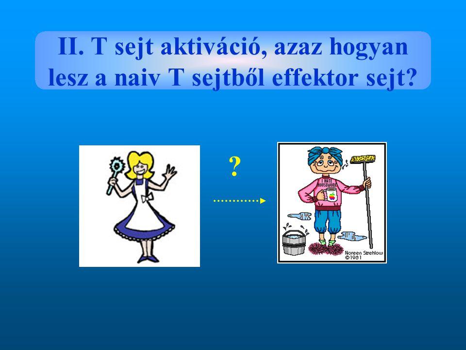 II. T sejt aktiváció, azaz hogyan lesz a naiv T sejtből effektor sejt