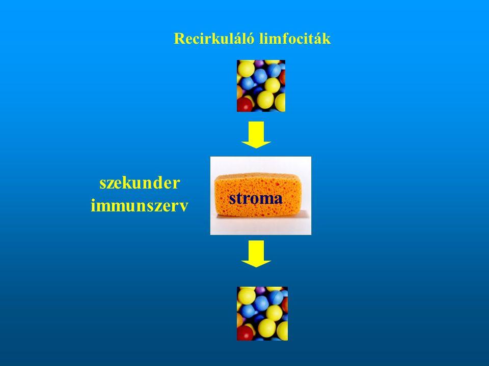 Recirkuláló limfociták