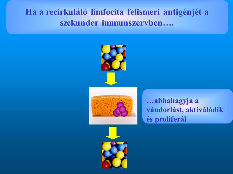 Ha a recirkuláló limfocita felismeri antigénjét a szekunder immunszervben….