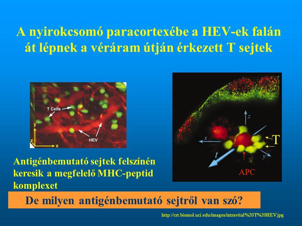 De milyen antigénbemutató sejtről van szó