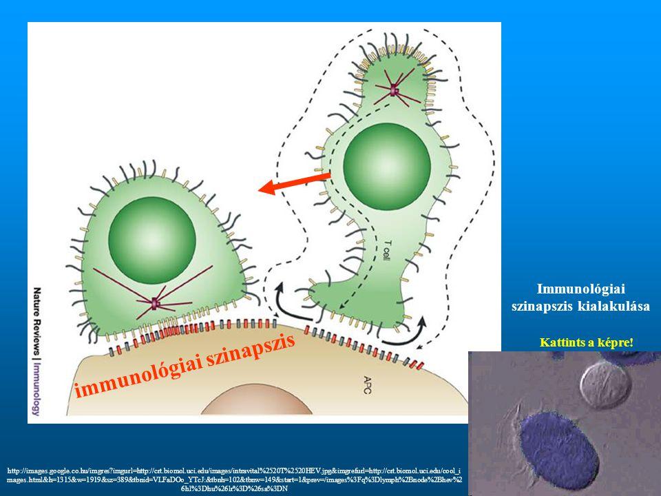 Immunológiai szinapszis kialakulása immunológiai szinapszis