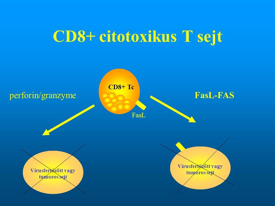 Vírusfertőzött vagy tumoros sejt Vírusfertőzött vagy tumoros sejt
