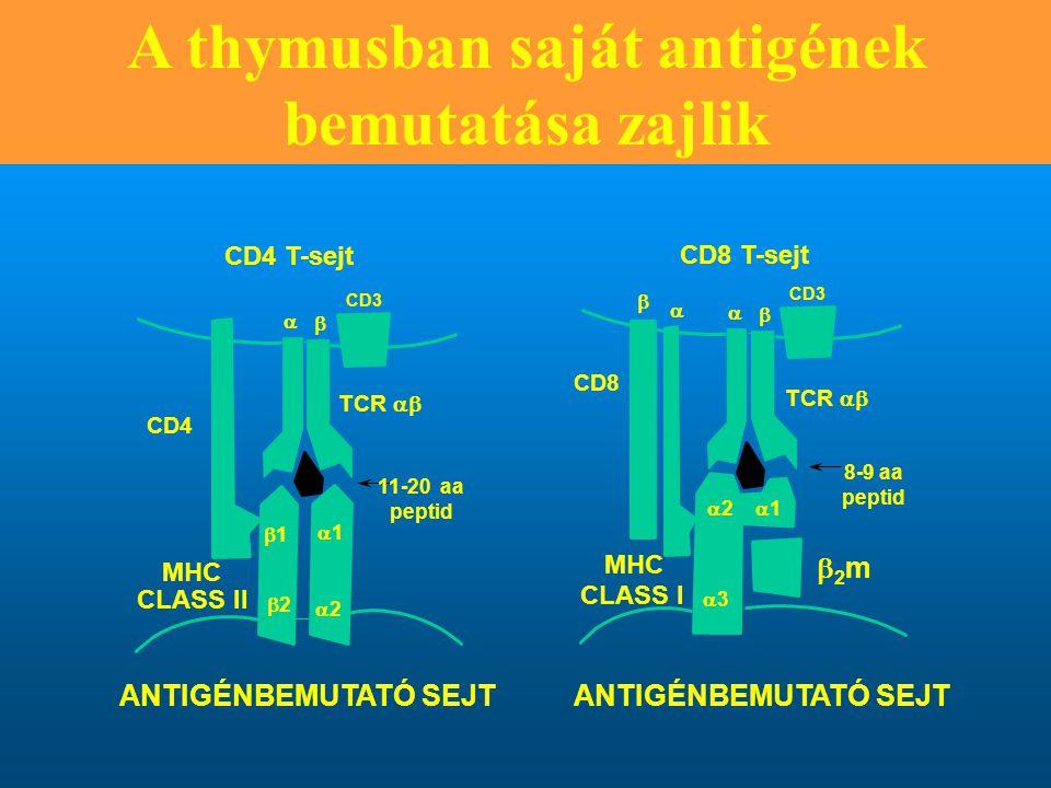 A thymusban saját antigének bemutatása zajlik