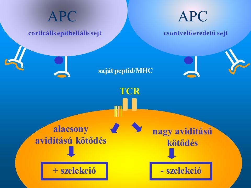 APC APC TCR alacsony aviditású kötődés nagy aviditásű kötődés