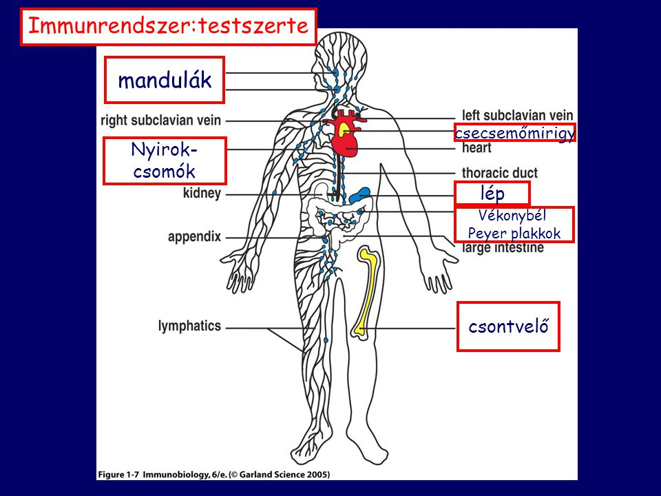 Immunrendszer:testszerte