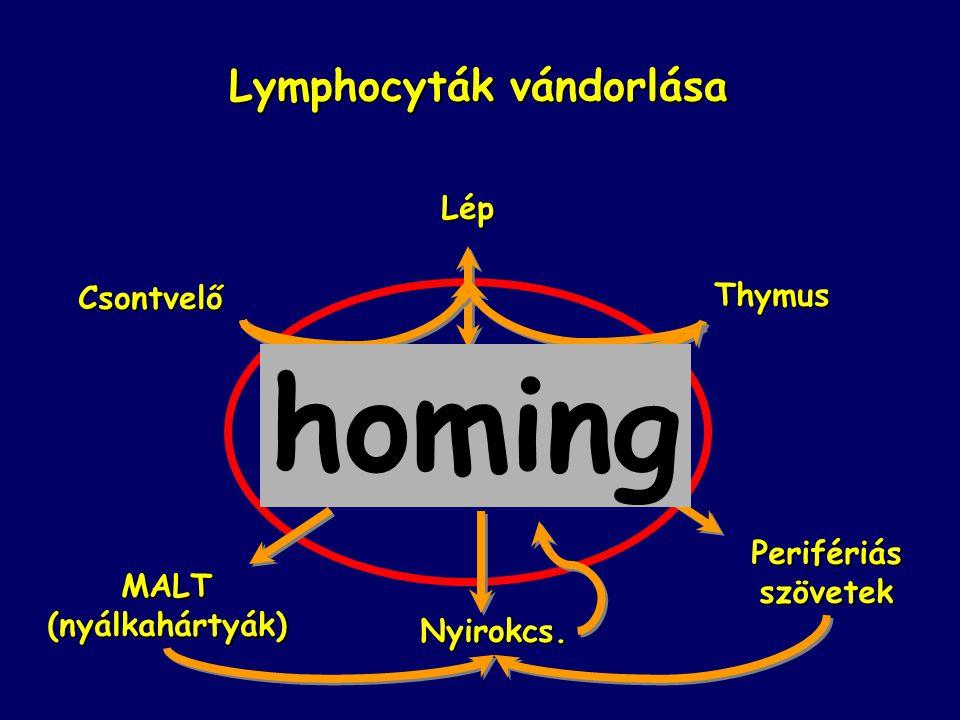 Lymphocyták vándorlása