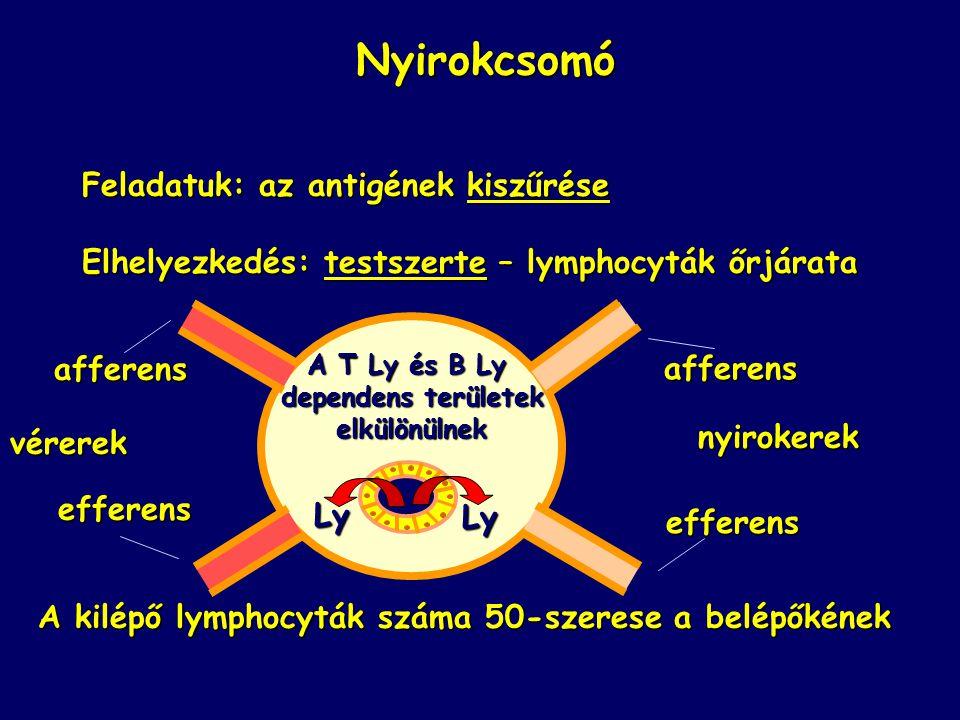 Nyirokcsomó Feladatuk: az antigének kiszűrése