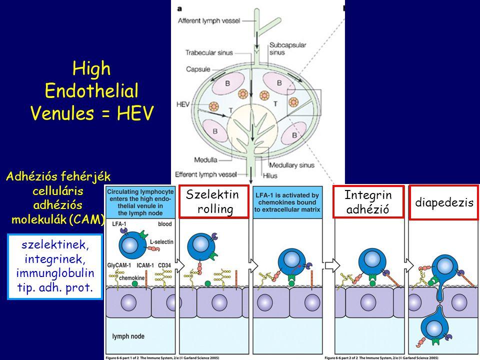 High Endothelial Venules = HEV