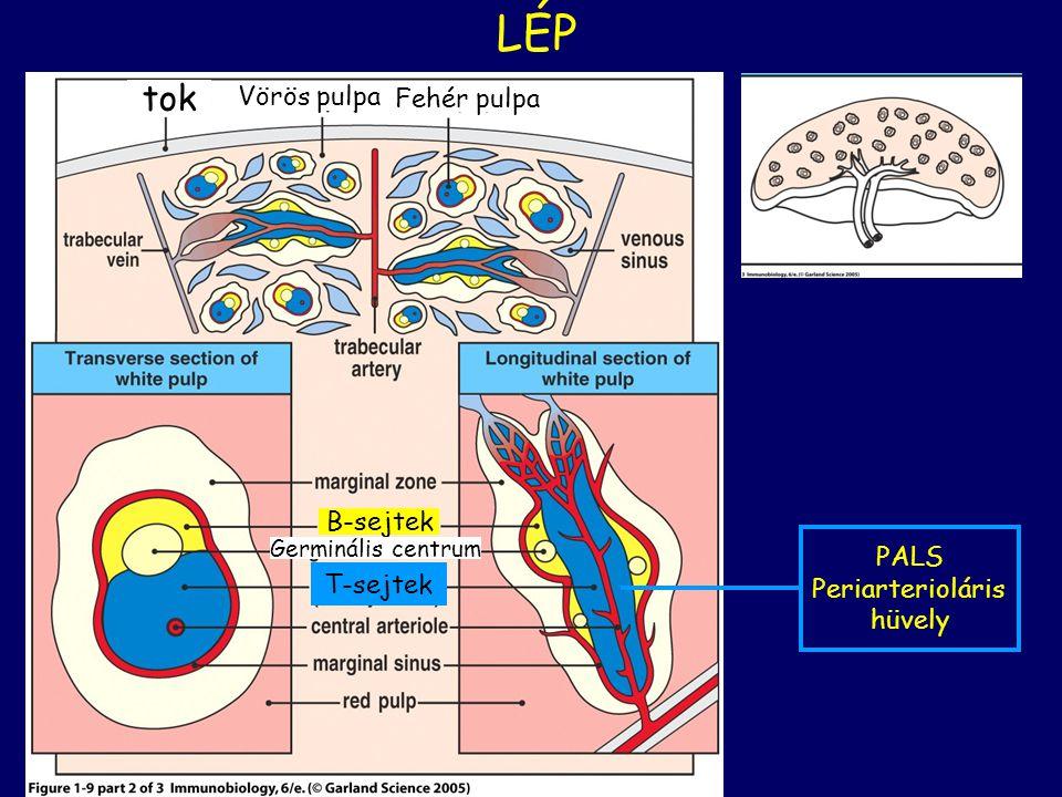 LÉP tok Vörös pulpa Fehér pulpa B-sejtek PALS Periarterioláris hüvely
