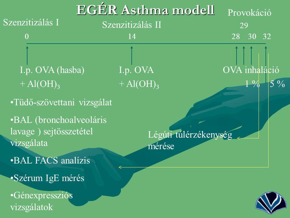 EGÉR Asthma modell Provokáció Szenzitizálás I Szenzitizálás II
