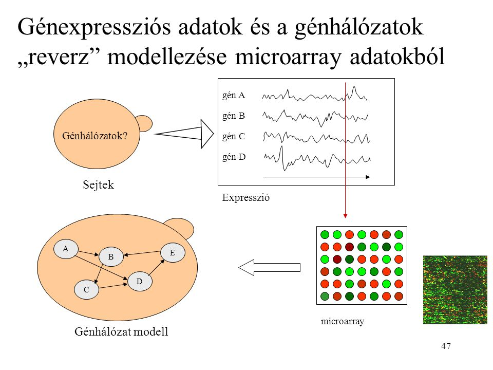 """Génexpressziós adatok és a génhálózatok """"reverz modellezése microarray adatokból"""
