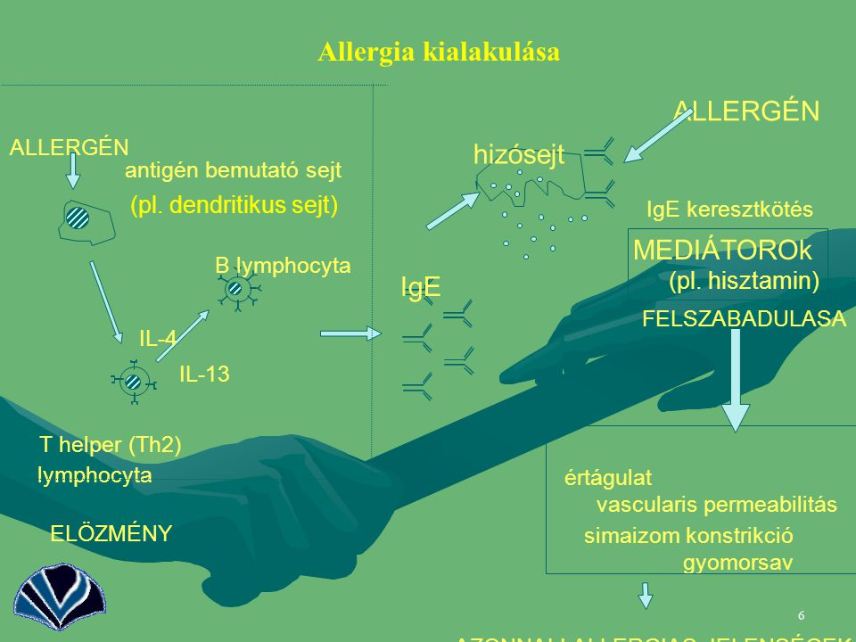 Allergia kialakulása ALLERGÉN hizósejt MEDIÁTOROk IgE
