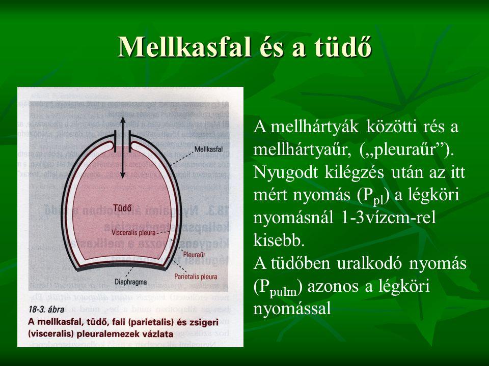 """Mellkasfal és a tüdő A mellhártyák közötti rés a mellhártyaűr, (""""pleuraűr )."""