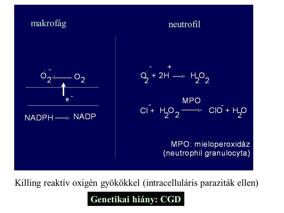 makrofág neutrofil.