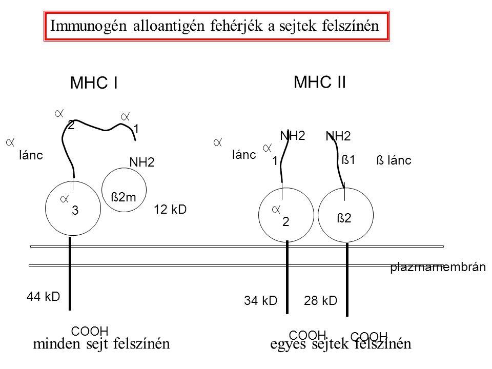 MHC I MHC II Immunogén alloantigén fehérjék a sejtek felszínén
